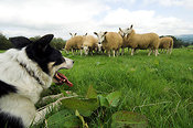 Sheepdog watching sheep in field