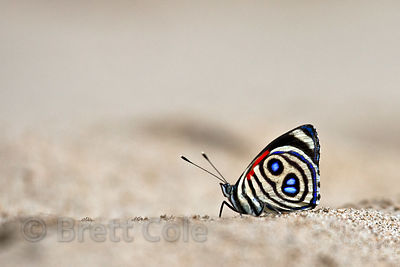 Unidentified butterfly on the sandy banks of the Tambopata River, Peruvian Amazon
