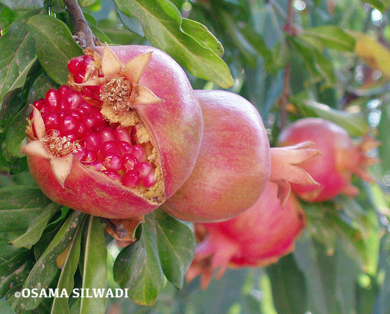 Pomegranate photos