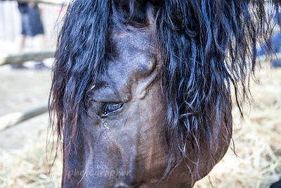 Lazarus the Percheron horse
