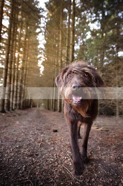 wide angle stock photo of shaggy brown dog walking to camera in pine forest