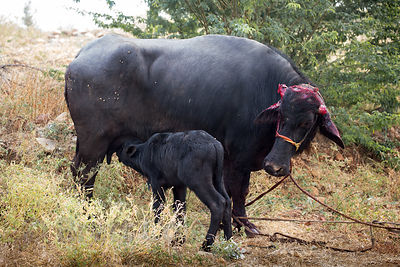 A baby nurses an adult water buffalo that went beserk in its owners truck and severed both of its horns, Kharekhari village, Rajasthan, India. The animal is too dangerous for anyone to attempt to help it in this state.
