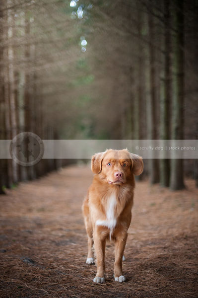 red toller dog staring posing standing in tunnel of pine trees