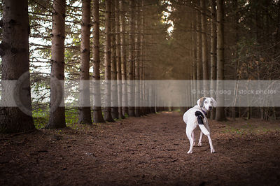 white dog with patches from behind looking back in forest