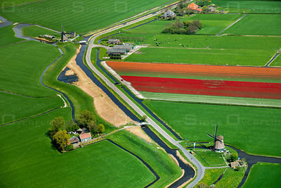 Typical Dutch; Mills along the dike, cows in the meadow and blooming tulips near the town of Obdam.