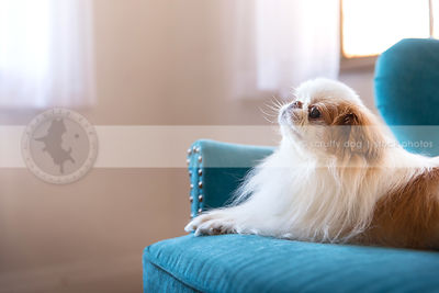 little white and red dog lying on blue settee by windows indoors