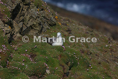 Nesting Northern Fulmar (Fulmarus glacialis) on cliff-top turf, Sumburgh Head, Mainland South, Shetland, Scotland