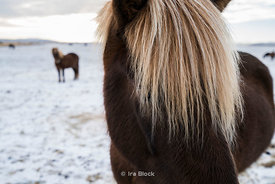 Icelandic Horses near Thingvellir National Park in western Iceland
