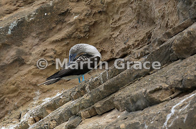 Blue-Footed Booby (Sula nebouxii excisa) preening on the stratified volcanic ash cliffs of Punta Pitt, San Cristobal