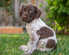 Cute brown and white puppy sitting  on lawn