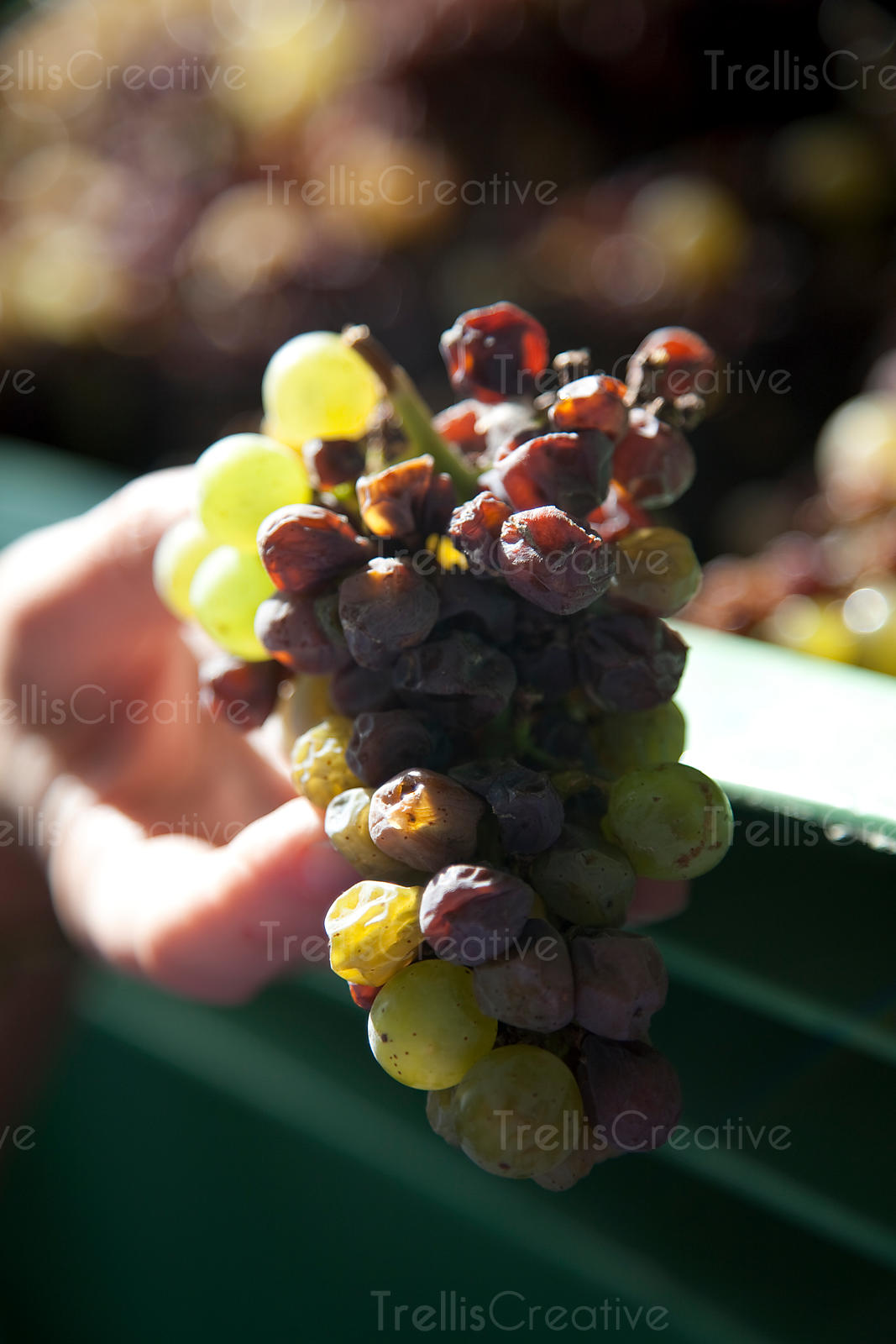holding a cluster of chardonnay grape cluster with botritis