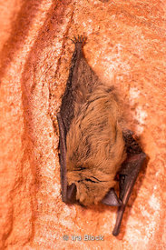 A bat in Peek-A-Boo, a slot canyon in the Dry Fork area of the Grand Staircase- Escalante area, located on the Hole-in-the-Rock Road, 26 miles south of the town of Escalante.