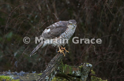 Juvenile male Eurasian Sparrowhawk (Accipiter nisus) stands on the back of an old wooden garden seat, Lake District National Park, Cumbria, England