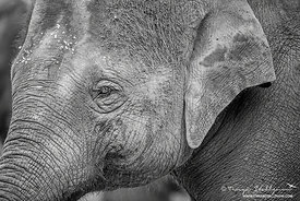 Asiatic Elephant - Asian Elephant