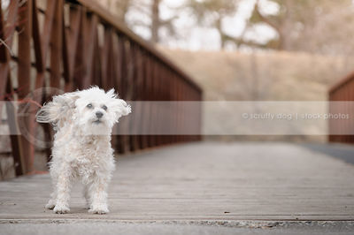 cute windblown little white dog standing on bridge