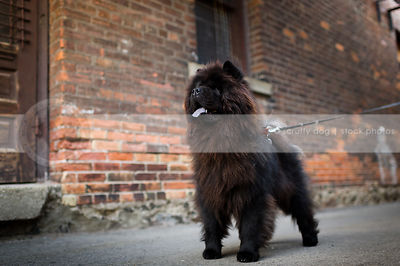 handsome black chow dog standing at urban brick wall