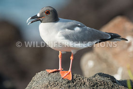 swallow_tailed_gull_on_rock-2