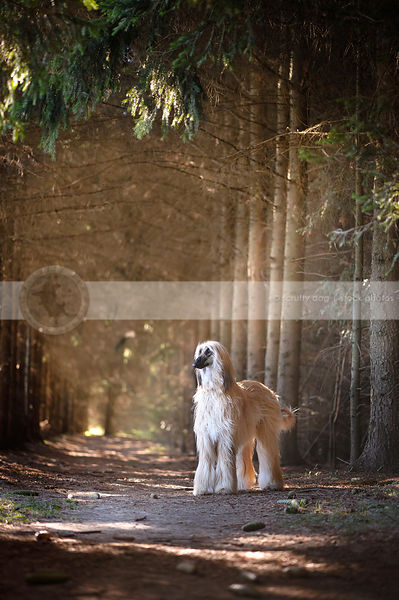 longhaired dog standing in sunbeams in forest of pine trees
