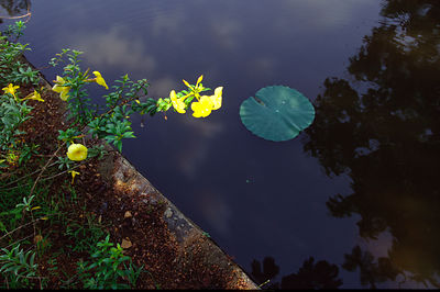 India - Kerala - Waterlily on the Backwaters