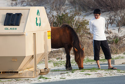 Wild horse (Equus ferus caballus) near a trash dumpster on Assateague Island, Maryland