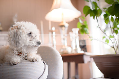 portrait of cute small dog lying on chair indoors