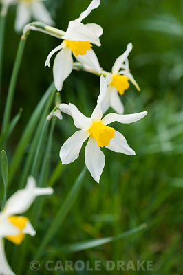 Narcissus 'Stella', dating from 1869. Cotehele, Cornwall, UK