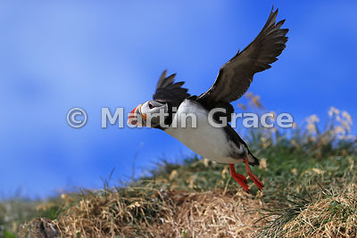Atlantic or Common Puffin (Fratercula arctica) taking off, Hafnarholmi, Borgarfjordur Eystri, Austurland, Iceland