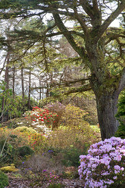 Flowering rhododendrons by Cedar