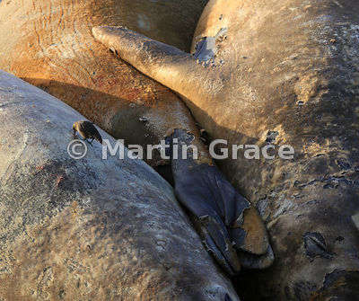 Southern Elephant Seals (Mirounga leonina) sleeping on the beach in early morning sunlight at Elephant Corner, Sea Lion Island, Falkland Islands. Note the Tussacbird (Cinclodes antarcticus antarcticus) pecking at a wound on a seal's back.