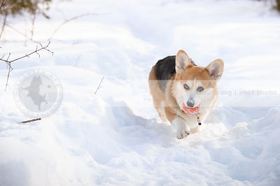 tricolor short corgi carrying ball down snow trail in winter