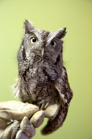 Willow - Female Eastern Screech Owl
