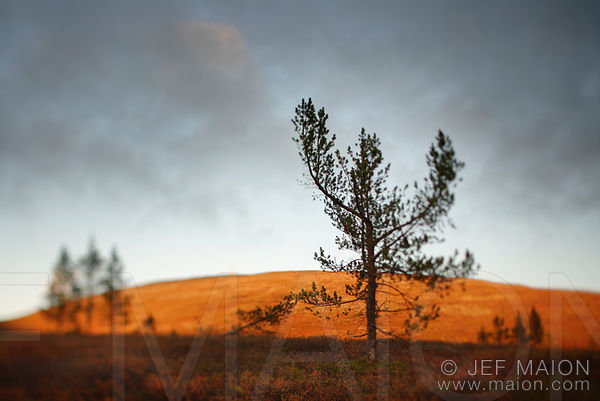 Alpenglow and tree silhouettes on fell