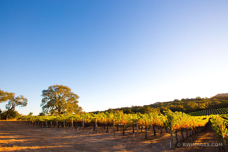 VINEYARD FALL COLORS NAPA VALLEY CALIFORNIA SUNSET