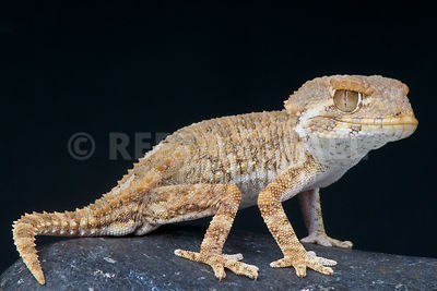 Helmeted gecko / Tarentola chazaliae photos