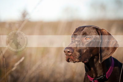 headshot of serious brown dog in field with bokeh background