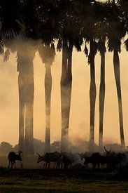 Cattle & Palms