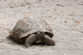 galapagos_giant_tortoise_young_11