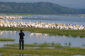 Tourist watching Great White Pelicans, Pelecanus onocrotalus, Lake Nakuru National Park, Kenya