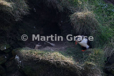 Atlantic Puffin (Fratercula arctica) emerges from its nest burrow on the cliffs of Sumburgh Head (RSPB), Mainland South, Shetland