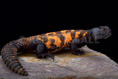 South Sahara spiny-tailed lizard (Uromastyx flavifasciata)  photos