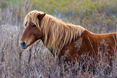 Closeup of a beautiful brown and tan wild horse (Equus ferus caballus) on sand dunes along the Atlantic Ocean, Assateague Island, Maryland. No cropping.
