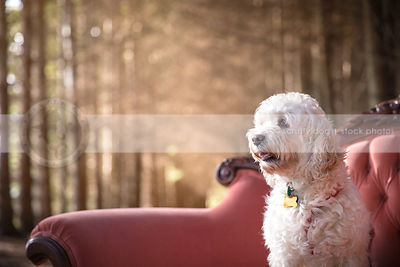 portrait of cream dog on antique settee in sunshine