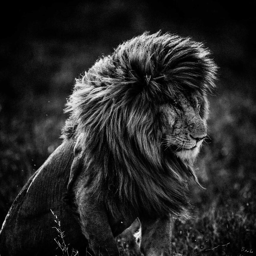 4253-Lion_in_the_wind_4_Kenya_2013_Laurent_Baheux