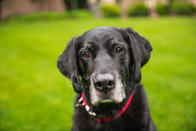 Close up of Senior Black Labrador Mix with Sad Expression