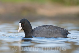 Eurasian Coot Fulica atra Bushy Park London October