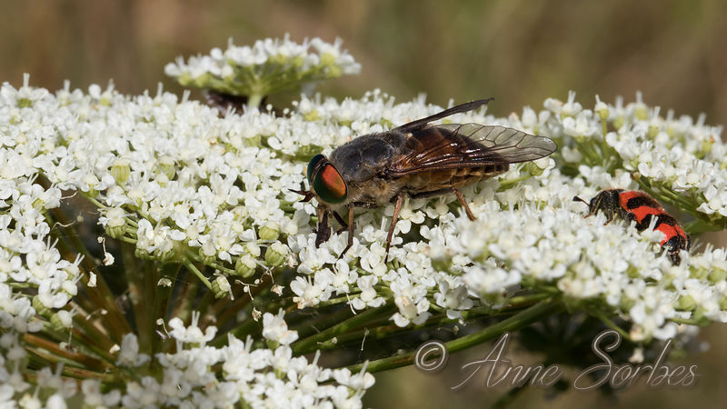 Horse Flies (Tabanidae) photos