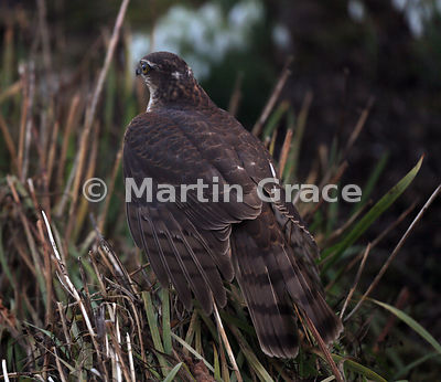 Juvenile male Eurasian Sparrowhawk (Accipiter nisus) from the rear, Lake District National Park, Cumbria, England