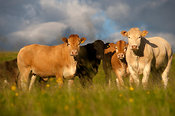 Herd of Blonde crossbred beef heifers in pasture Ravenstonedale Cumbria