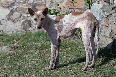 Starving dog on the grounds of Kumbhalgarh Fort, Rajasthan, India