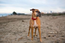 White and Tan Boxer Dog Standing on Beach